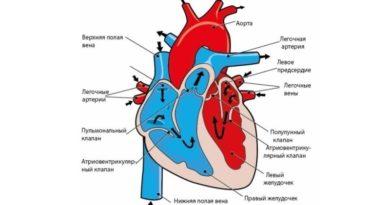 Как работает сердце человека?